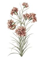 Vintage illustration of six carnations