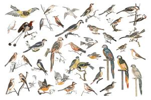 Vintage illustration of various species of birds