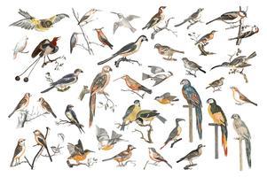Illustration vintage de diverses espèces d'oiseaux