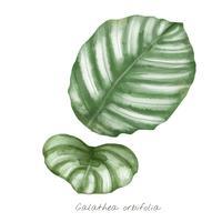 Calathea orbifolia blad isolerad på vit bakgrund