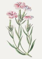 Rosa Dianthus