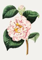Camellia blomma