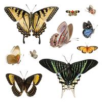 Illustration vintage de papillons et de machaons