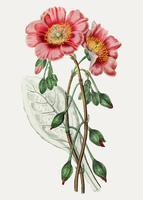Redmaids flower