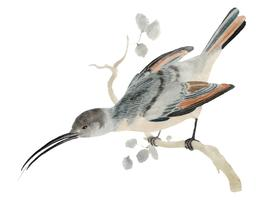 Weinleseillustration eines Kolibris