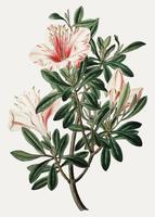 Azalea china