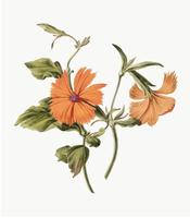 Ilustração vintage de flor de laranjeira