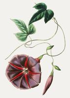 Jalapa blomma