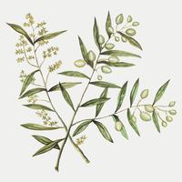 Olive in vintage style