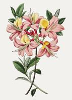 Rosa azalea blomma