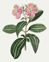 Osbeckia stellata