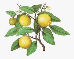 Limone in stile vintage