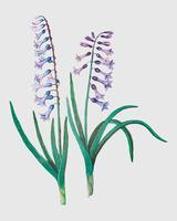 Hyacint in vintage stijl