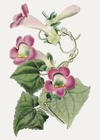 Creeping gloxinia