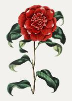 Red camellia vector