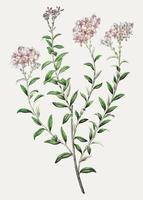 Selago bloem