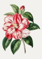 Rosa Camelia