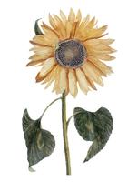 Illustration vintage d'un tournesol