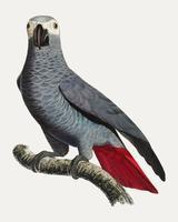 Congo grey parrot