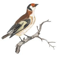 Vintage illustration of a Goldfinch