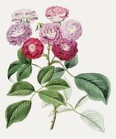 Klättra rosor