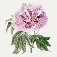 Rosa Baumpfingstrose