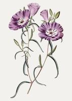 Lila Oenothera