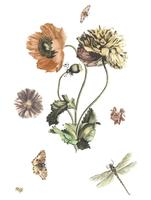 Vintage illustration of three poppies, two butterflies, a fly and a dragonfly