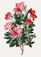 Azalea china roja