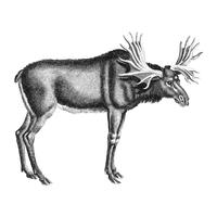 Vintage illustrations of Elk