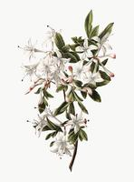 Illustrazione d'epoca del ramo di azalee in fiore