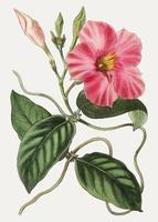 Rocktrumpet flower
