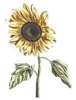 Vintage illustration of a sunflower