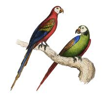 Scarlet and Green Macaw from Oeuvres complètes de Buffon (1860). Digitally enhanced by rawpixel.
