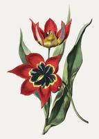 Tulp zwart en rood