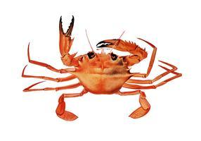 West African Brachyuran crab