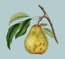 Pyrus communis, a vintage illustration of a pear. Digitally enhanced by rawpixel.