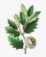 Valonian Oak Branch