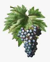 Grappe de raisin bleu