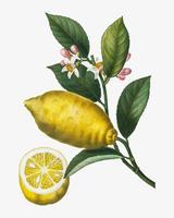 Rama de limonero