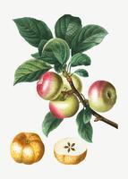 Manzanas en una rama
