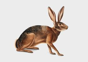 Kalifornisk Hare illustration