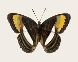 Vintage illustratie van een vlinder