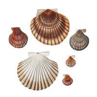 Clam shell varieties