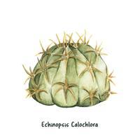 Mão desenhada echinopsis calochlora cactus