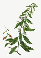 Goji berry tree
