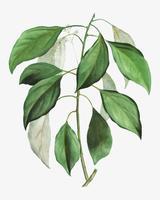 Galho de árvore de cânfora