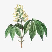 Flor amarilla de Pavia Lutea