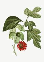 Red Paper Mullberry flower