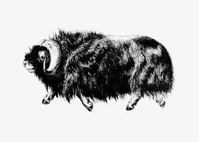 Dessin à l'ombre de bœuf musqué